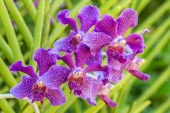 Orquídea roxa, Mokara Fotos de Stock Royalty Free