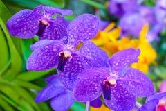 Orquídea roxa no jardim Foto de Stock Royalty Free