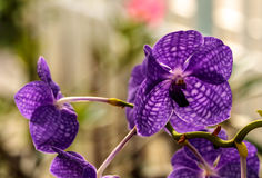 Orquídea roxa no jardim da casa Fotos de Stock Royalty Free