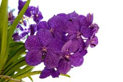 Orquídea roxa (princesa Mikasa de Ascocenda) no fundo branco Imagens de Stock