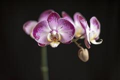 Orquídea roxa uma Imagens de Stock