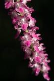 Orquídea salvaje Foto de archivo libre de regalías