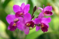 Orquídea salvaje. Imágenes de archivo libres de regalías