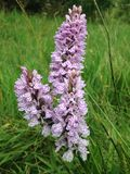 Orquídea salvaje Fotografía de archivo libre de regalías
