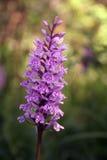 Orquídea salvaje fotografía de archivo