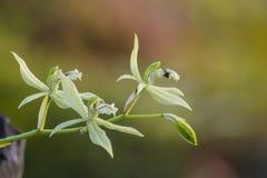 Orquídea salvaje del brachyptera de Coelogyne Fotos de archivo