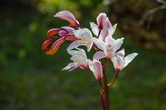 Orquídea salvaje en bosque fotografía de archivo libre de regalías
