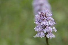 Orquídea salvaje en el campo común de Southampton foto de archivo libre de regalías