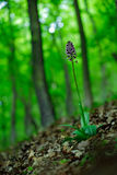 Orquídea salvaje en la señora Orchid, purpurea de Orchis, orquídea salvaje terrestre europea floreciente, hábitat de la naturalez Foto de archivo