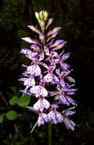 Orquídea salvaje septentrional Foto de archivo