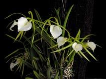 Orquídea: Señora de la noche fotos de archivo libres de regalías