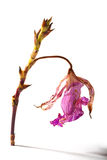 Orquídea secada Fotografía de archivo