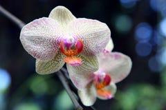 Orquídea selvagem Fotos de Stock Royalty Free