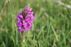 Orquídea selvagem Fotografia de Stock Royalty Free