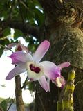 Orquídea selvagem Imagem de Stock