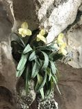 Orquídea selvagem Foto de Stock Royalty Free