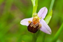 Orquídea selvagem bonita Foto de Stock
