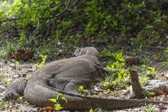Orquídea selvagem na selva indonésia Komodo Dragon Lizard Predador selvagem endêmico Caçando o dragão agressivo de sangue frio Ko imagem de stock royalty free