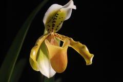 Orquídea Tailândia do Paphiopedilum Fotografia de Stock
