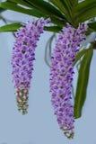 Orquídea tailandesa 05 Foto de Stock Royalty Free