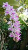 Orquídea tailandesa Fotografía de archivo