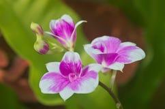 Orquídea tailandesa fotografia de stock