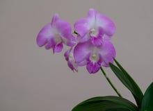 Orquídea tailandesa Foto de Stock Royalty Free