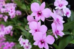 Orquídea tailandesa Imagens de Stock Royalty Free
