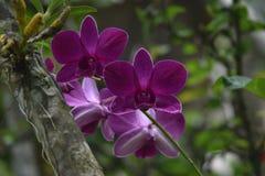 Orquídea tailandesa con el color púrpura que florece en la estación de lluvias fotografía de archivo libre de regalías