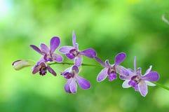 Orquídea Tailandia fotos de archivo