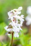 orquídea Temprano-púrpura de Albin en hierba del bosque en fondo, en marzo Fotografía de archivo libre de regalías