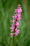 orquídea Temprano-púrpura (mascula de Orchis) Foto de archivo libre de regalías