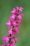 orquídea Temprano-púrpura (mascula de Orchis) Fotos de archivo