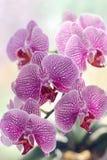Orquídea tropical do milagre Imagens de Stock Royalty Free