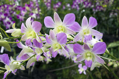 Orquídea tropical roxa e branca Imagens de Stock Royalty Free