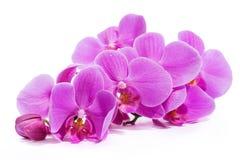 Orquídea Um ramo de orquídeas cor-de-rosa imagens de stock
