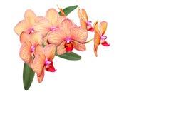 Orquídea universal de Hawaii del Phalaenopsis fotografía de archivo libre de regalías
