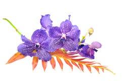 Orquídea Vanda Imagem de Stock Royalty Free