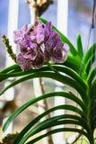 Orquídea Vanda Fotos de archivo libres de regalías