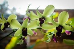 Orquídea verde Foto de Stock