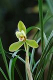 Orquídea verde Fotografia de Stock