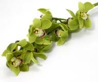 Orquídea verde do Cymbidium no fundo branco fotos de stock