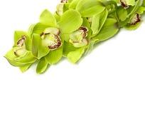 Orquídea verde do Cymbidium no fundo branco imagens de stock royalty free