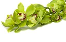 Orquídea verde do Cymbidium no fundo branco imagem de stock