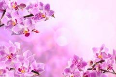 Orquídea vermelha Foto de Stock