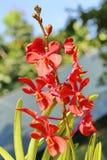Orquídea vermelha Fotografia de Stock Royalty Free