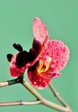 Orquídea vermelha Fotos de Stock Royalty Free