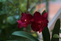 Orquídea vermelha bonita Fotografia de Stock Royalty Free
