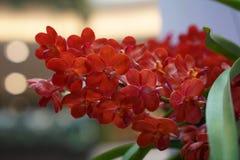 Orquídea vermelha bonita Fotos de Stock