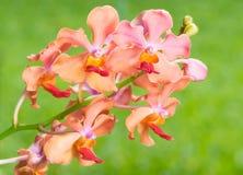A orquídea vermelha cor-de-rosa alaranjada floresce contra o backgrou da grama verde do borrão imagem de stock royalty free